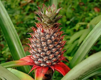 LIVE Florida Special Pineapple Plant - Ananas Comosus Live Plant (Must Buy A Minimum Of ANY 2 PLANTS To Complete Purchase!)