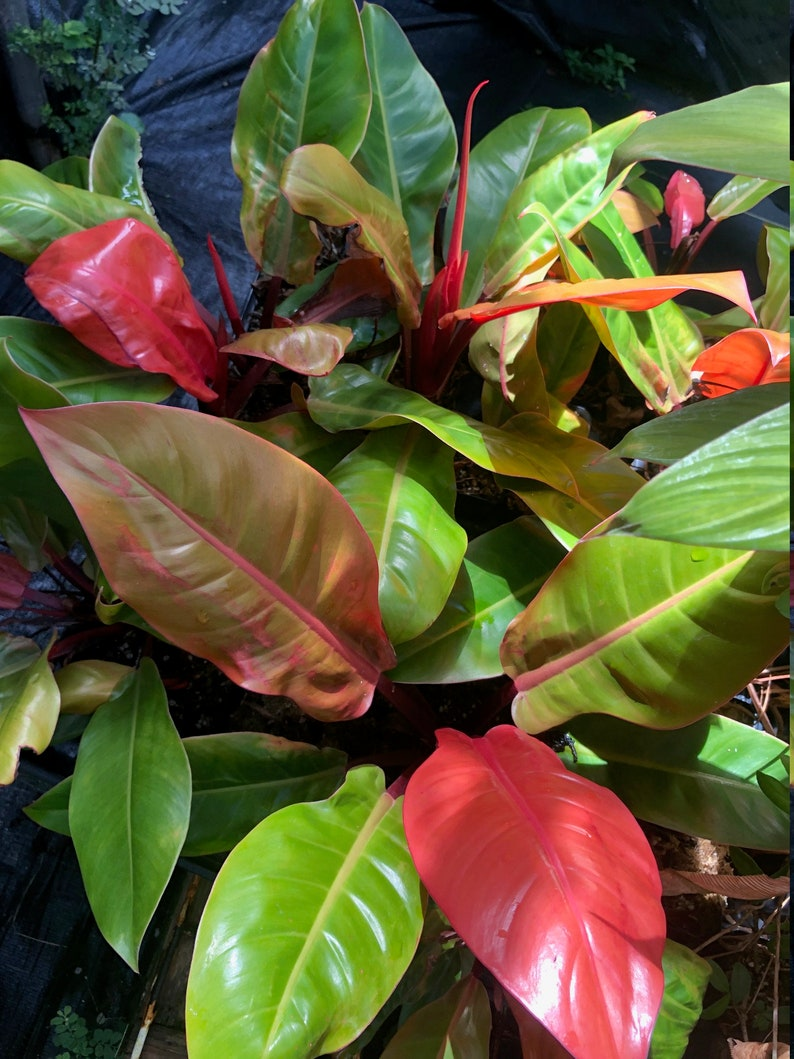 Rojo Congo Philodendron LIVE Large HOUSEPLANT about 2 feet image 0
