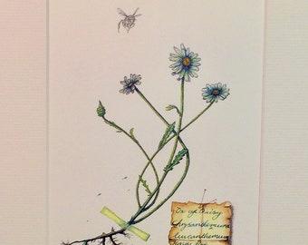 Honey Bee (Apis mellifera) and Oxeye daisy (Chrysanthemum leucanthemum) Limited edition print.
