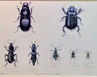 Beautiful British Beetles. Limited edition print of original watercolour.