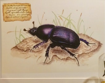 Dung Beetle print. Geotrupes stercorarius. Limited edition print
