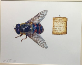 Hover fly (Eristalis tenax) or Drone fly. Intricate limited edition print of this wonderful Honey bee mimic.