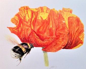 White-tailed Bumblebee (Bombus lucorum) and Oriental Poppy (Papaver orientalis) Limited Edition Print