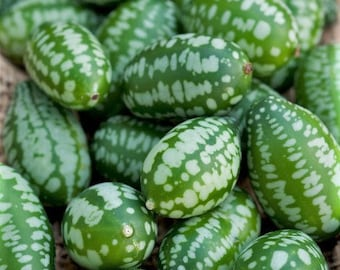 Organic Cucamelon (mouse melon) seeds - delicious dainty fruit with a lime and cucumber taste - pack of 10 seeds