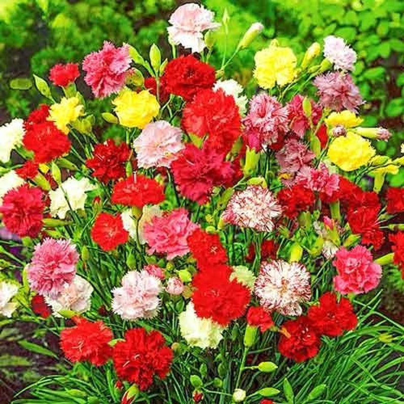 Carnation Grenada Mix Flower Dianthus caryophyllus Seeds 1 pack\\ 0.1 gr.