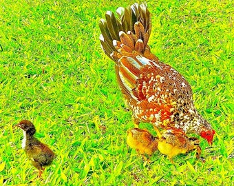 """Animal photography print: canvas scroll wall hanging, """"The Chick's Got Spirit"""""""
