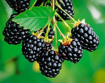 Navaho Thornless Blackberry *Pesticide Free!* SWEETEST Blackberry!