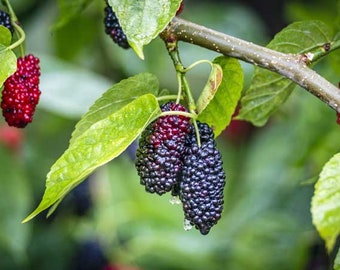 Dwarf Everbearing Mulberry Tree *Pesticide free!* CONSTANT Fruiting!