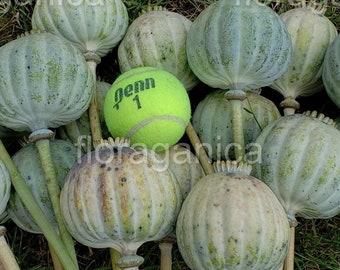 Giganteum Poppy Seeds (500+), papaver somniferum