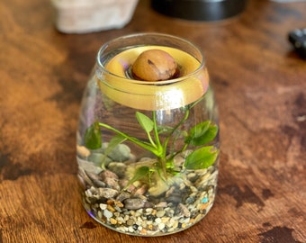 AVO Floaty  Avocado seed / pit starter propagation growing kit