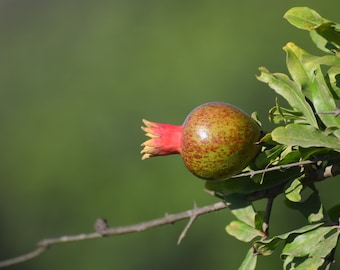 Pomegranate Digital Photo