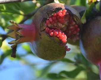 Split Pomegranate Digital Photo