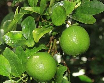 key Lime Bush ~ Indoor & Patio Citrus Tree, Ship w/o pot, Not ship to Az, Ca, Fl, Ga, La, Tx