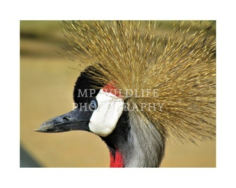 Lot of 14 African Crowned Crane Feathers AB89