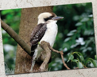 Kookaburra photo greeting card