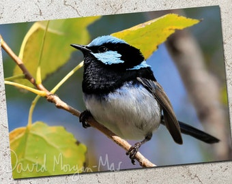 Superb Fairywren photo greeting card