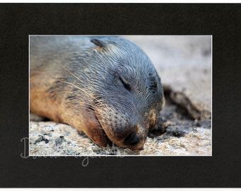 Sea lion 30×20 cm matted print: Post-Swim Nap