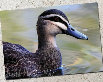 Pacific Black Duck photo greeting card
