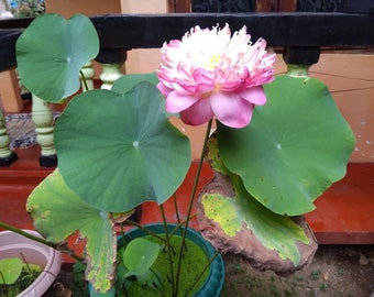 Bonsai Lotus Flowers Etsy