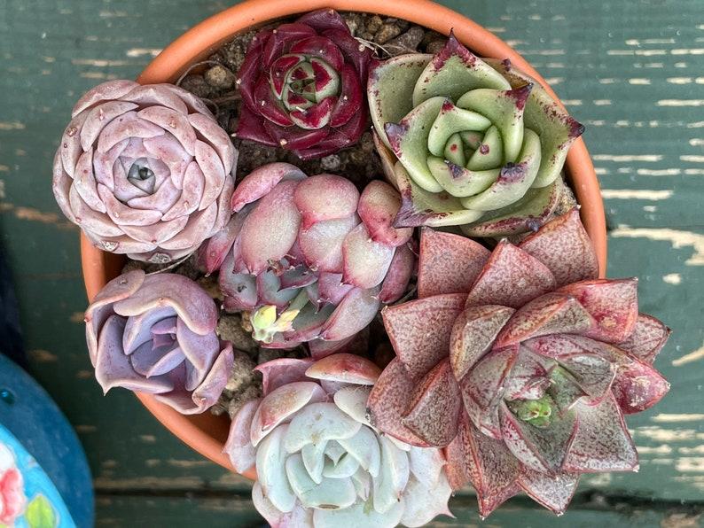 Sets of succulents