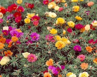 Large-flowered Moss Rose Mixed color 500 seeds, non GMO