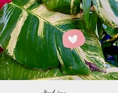 Buy 1 Get 1 Free TLC DISCOUNTED - Tender Loving Care , Hawaiian Pothos cuttings W node up to 25 OFF