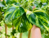 Buy 1 get 2 FREE - Giant Variegated Golden Hawaiian Pothos cutting with node roots - Will grow HUGE leaves LIVE plant