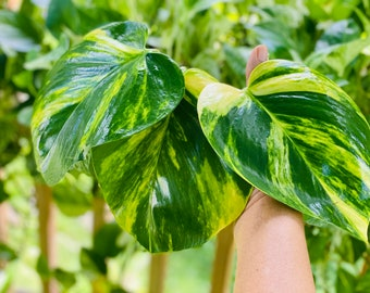 Buy 1 get 2 FREE  -  Giant Variegated Golden 'Hawaiian' Pothos cutting with node /roots  - Will grow HUGE leaves! LIVE plant