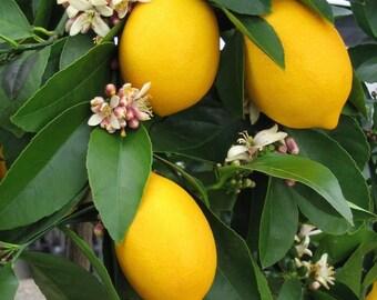 Meyor lemon around 2 ft tall in 3 gallon pot