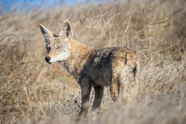 Wild Coyote Hunting in the Santa Cruz Mountains  image 0