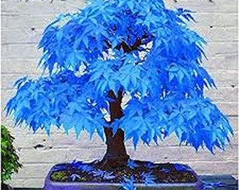 Bonsai Tree Seeds Etsy