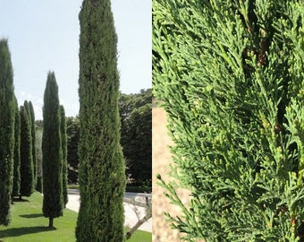 50 Seeds Italian Cypress Seeds for Planting Great for Landscaping and Hedge Rows Exotic Evergreen Tree Seeds to Grow