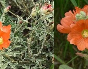 SCARLET GLOBEMALLOW Sphaeralcea Coccinea Hardy Perennial 30 Seeds