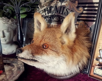 Real fox taxidermy shoulder head mount taxidermie pr\u00e4parat
