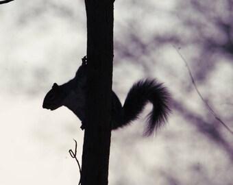 Peeping squirrel nutkin. Silhouette photo print