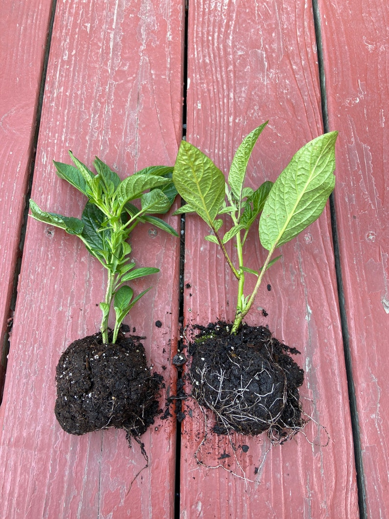 Two small pepino melon plants with soil on their roots