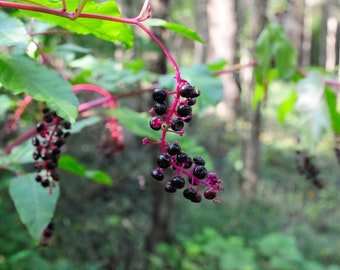 Black Berries On a Branch