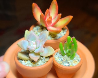 Tiny Terracotta Mini Succulent Plant Trio, Mini Cute Live Potted Succulents, Baby Succulents Gift, Tiny Planted Succulents, Tiny Plant Gift