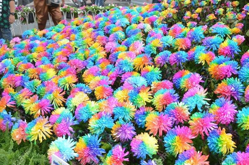 500 Hybrid Rainbow Chrysanthemum Plant Bonsai Perennial Flower Etsy
