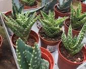 Assorted Aloe Vera Succulents - Haworthia (8cm-10cm)