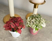 2 quot Polka Dot plant 39 hypoestes phyllostachya 39 freckle face pet safe air purifying