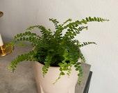 2 quot 4 quot Lemon Button Fern 39 Nephrolepis cordifolia Duffii Live fern plant pet safe terrarium plants air purifying plant