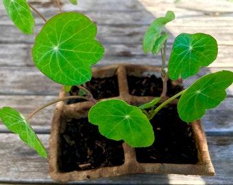 Nasturtium seedlings   Nasturtium plants   Organic Nasturtium   Edible flowers