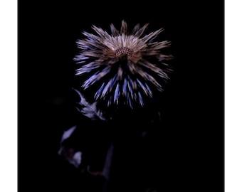 Blue bell thistle, Echinops bannaticus, Night of the Flora, Print, Fine Art, Photograph, Flower, Flora, Plants, Portrait