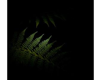 Lady fern, Athyrium filix-femina, Night of the Flora, Print, Fine Art, Photograph, Flower, Flora, Plants, Portrait