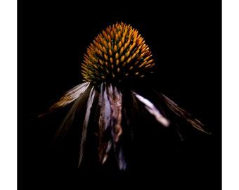 White coneflower, Echinacea purpurea Alba, Night of the Flora, Print, Fine Art, Photograph, Flower, Flora, Plants, Portrait