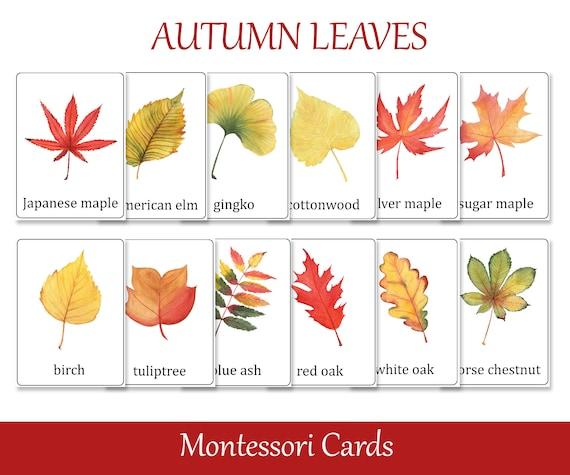 Fall leaves Identification Montessori 3 part cards Preschool