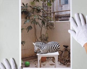 Cebra / Zebra