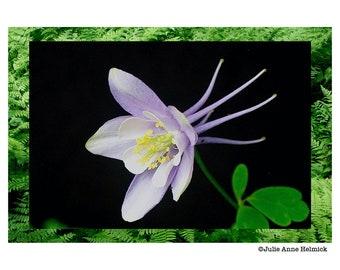 Photo Art Cards - Colorado Columbine - 8 Cards - Blank Inside