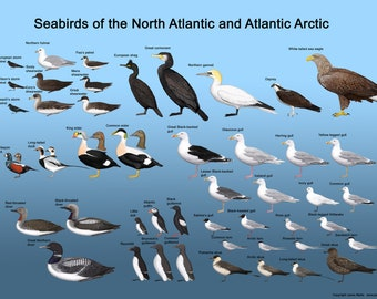 Seabirds of the North Atlantic and Atlantic Arctic